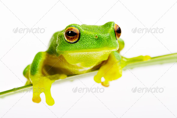 Green tree frog sitting on grass blade - Stock Photo - Images