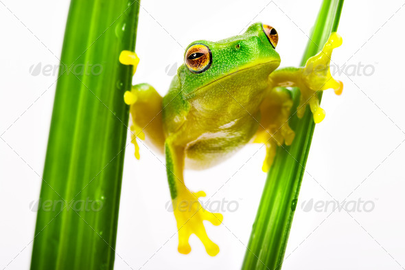 Green tree frog holding on grass - Stock Photo - Images