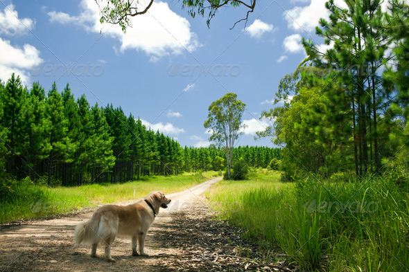 Golden retriever standing on a forest path - Stock Photo - Images