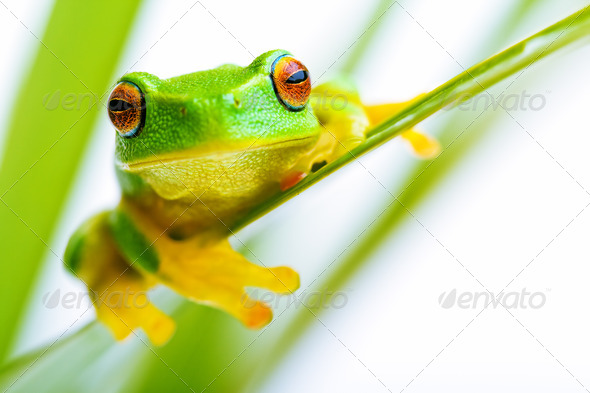 Small green tree frog holding on the palm tree - Stock Photo - Images