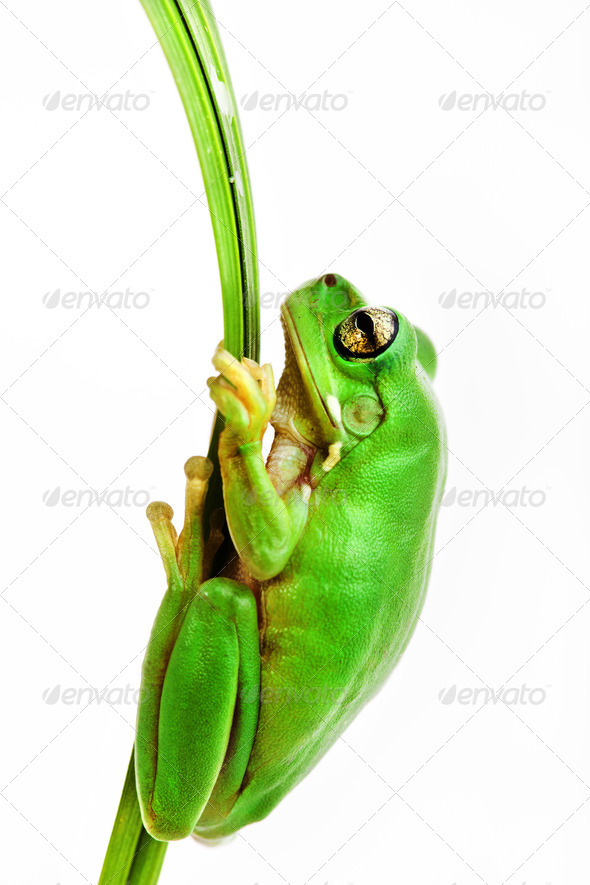 Small green frog holding on to grass blade - Stock Photo - Images