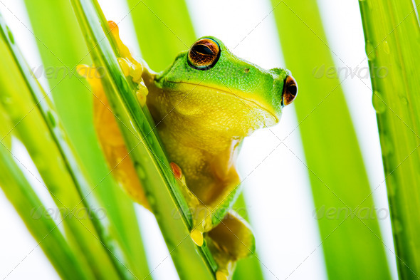 Small green tree frog holding on palm tree - Stock Photo - Images