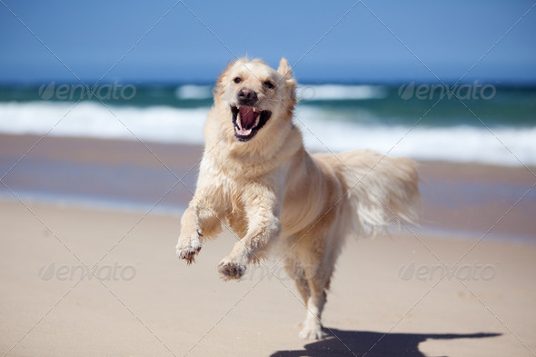 Excited golden retriever running on the beach - Stock Photo - Images