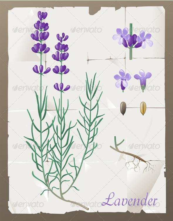 Lavender - Flowers & Plants Nature