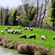 Flock of Sheep Grazing on Banks of River - VideoHive Item for Sale
