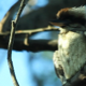 Kookaburra 1 - VideoHive Item for Sale