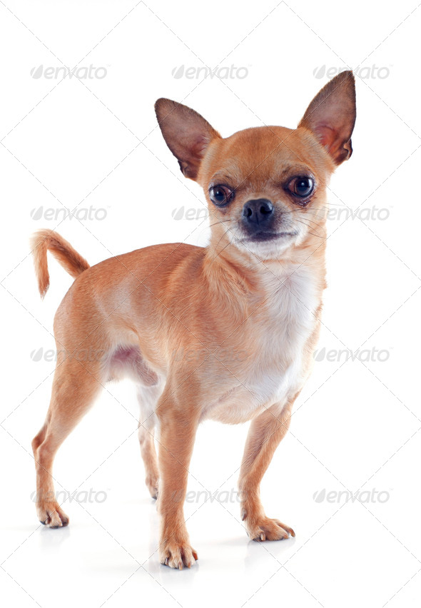 male chihuahua - Stock Photo - Images