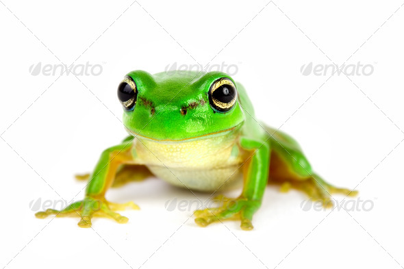 Little tree-frog on white background - Stock Photo - Images