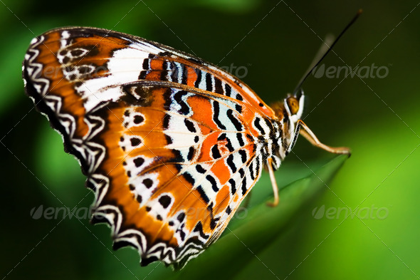 Orange Lacewing Butterfly - Stock Photo - Images