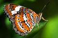 Orange Lacewing Butterfly - PhotoDune Item for Sale