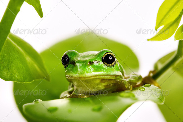 Small green tree frog sitting on the leaves - Stock Photo - Images