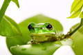 Small green tree frog sitting on the leaves - PhotoDune Item for Sale