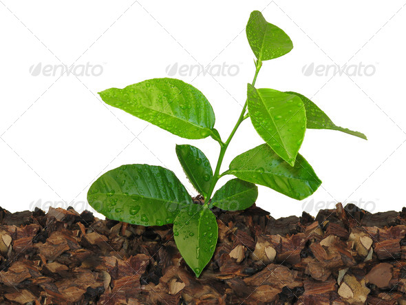 lemon tree - Stock Photo - Images