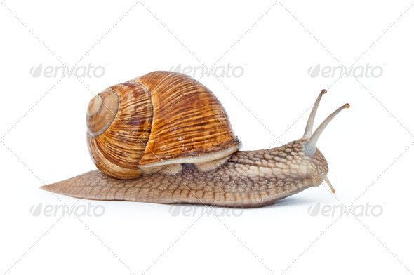 snail isolated on white - Stock Photo - Images