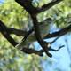Kookaburra 2 - VideoHive Item for Sale
