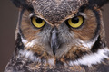 Great Horned Owl Eyes - PhotoDune Item for Sale