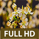 Wild Plum Flowering - VideoHive Item for Sale