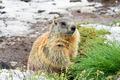marmot on snowy land