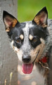 Blue Heeler Dog - PhotoDune Item for Sale