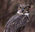 Concerned Great Horned Owl - PhotoDune Item for Sale