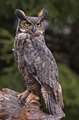 Great Horned Owl Stare - PhotoDune Item for Sale