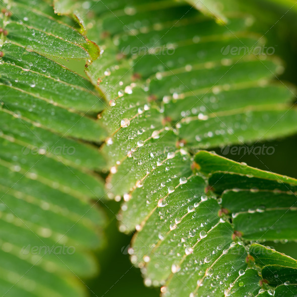 drops and mimosa - Stock Photo - Images
