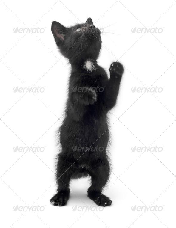 black kitten - Stock Photo - Images