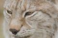 Portrait of a Eurasian lynx, Lynx lynx - PhotoDune Item for Sale
