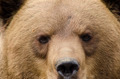 Face of a brown bear - PhotoDune Item for Sale