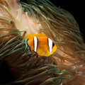 Clownfish in anemone square - PhotoDune Item for Sale