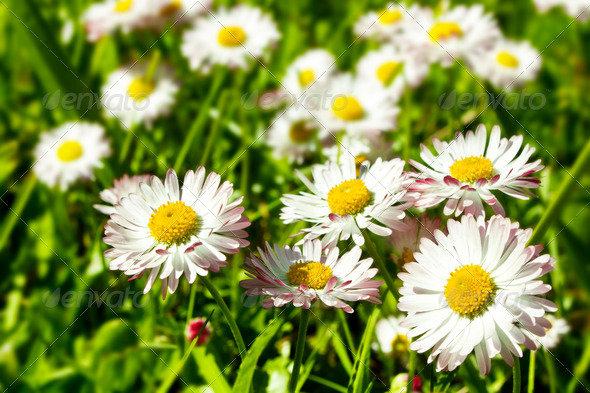 Camomiles on a field - Stock Photo - Images