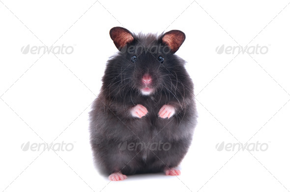 black hamster - Stock Photo - Images