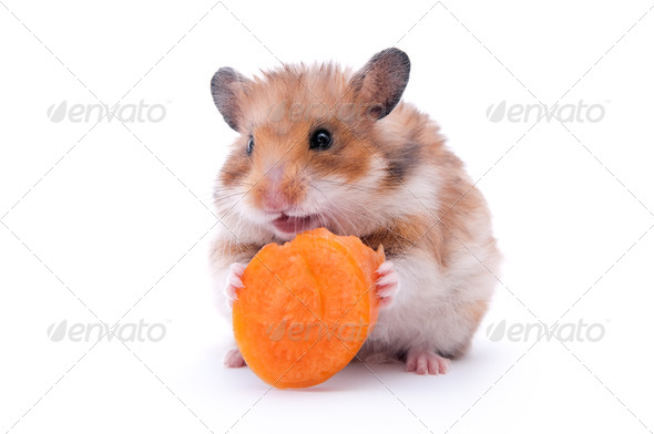 hamster isolated - Stock Photo - Images