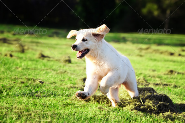 Golden retriever puppy jumping in the grass - Stock Photo - Images