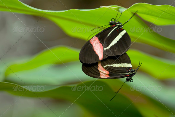 Mating Butterflies - Stock Photo - Images