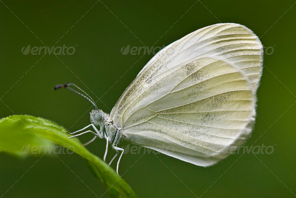 Large White Butterfly - Stock Photo - Images