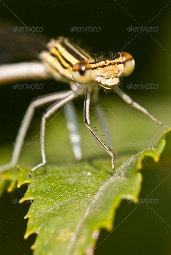 Female Damselfly - Stock Photo - Images