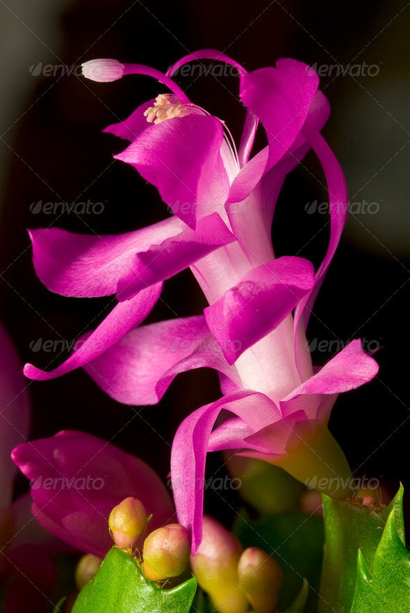 Christmas Cactus FLower - Stock Photo - Images
