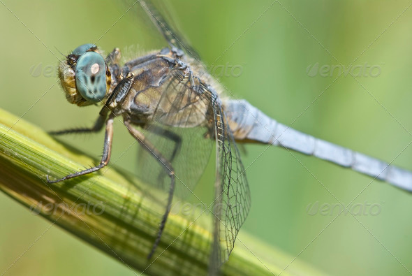 Dragonfly, Keeled Skimmer - Stock Photo - Images