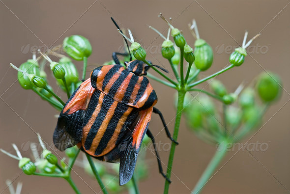 Red and Black Shield Bug - Stock Photo - Images