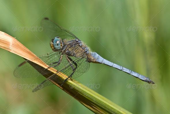 Dragonfly, Keeled Skimmer - Stock Photo - Images