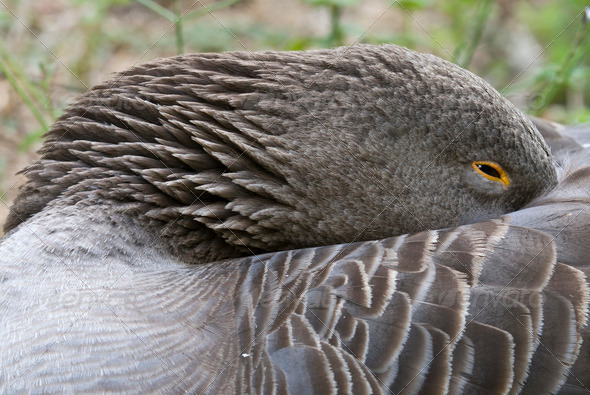 Sleeping Goose - Stock Photo - Images