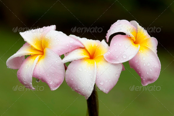 Plumeria Flowers - Stock Photo - Images