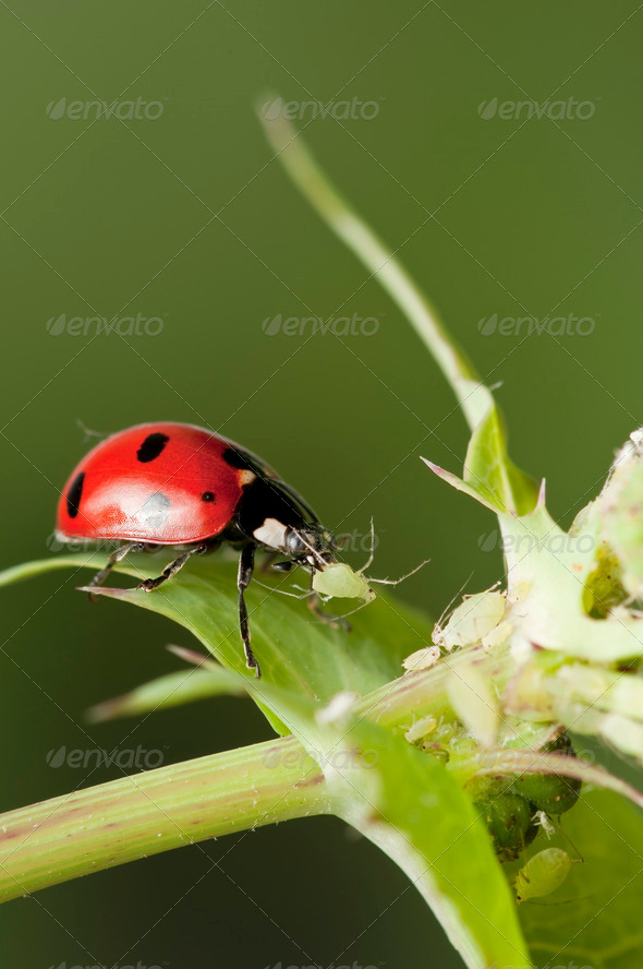 ladybird Eating Aphids - Stock Photo - Images