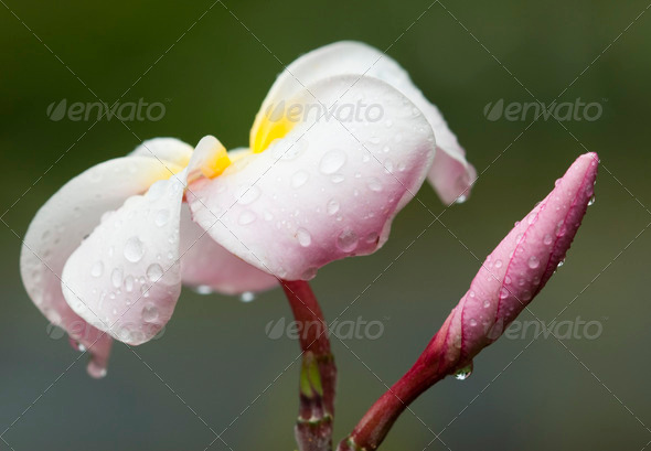 Plumeria Flower - Stock Photo - Images