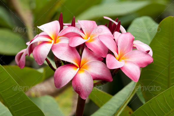 Pink Plumeria Flowers - Stock Photo - Images
