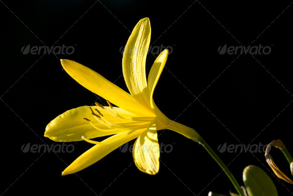 Flowers of the Eastern Alps endemism golden lilium - Stock Photo - Images