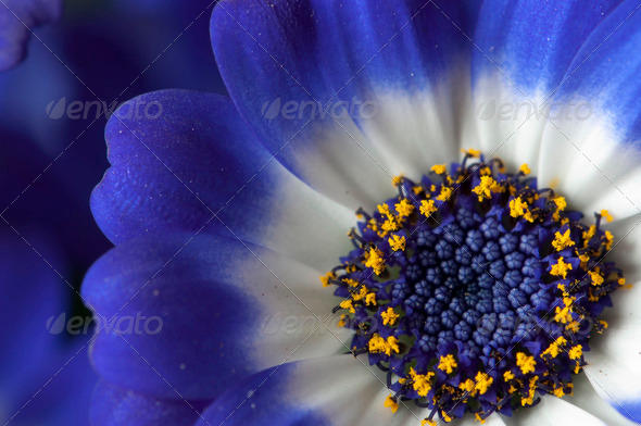 Blue, Wite and Yellow Daisy - Stock Photo - Images
