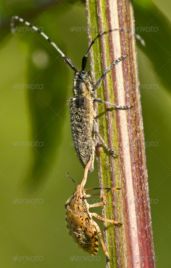 Shield Bug attacking a Coleoptera - Stock Photo - Images