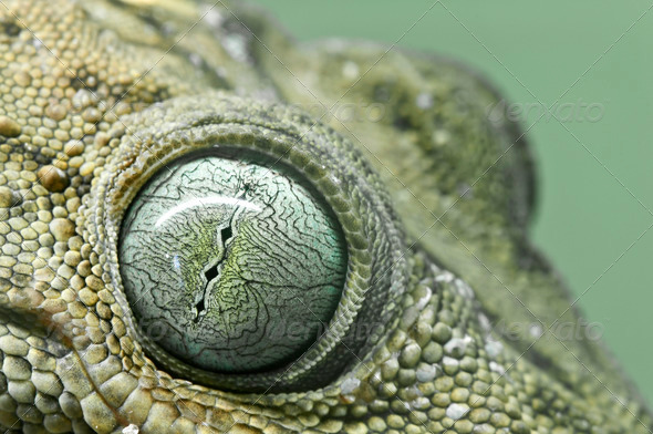 Gecko Eyes - Stock Photo - Images